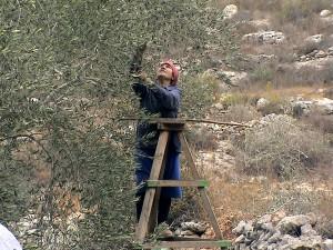 cueillette d'olive Kolin